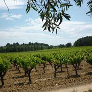 vignes gite Pays Cathare Gites de France dans l'Aude à Mailhac en Minervois