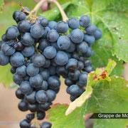 raisin Accueil vignoble à Ribaute au Domaine des Cascades à Ribaute