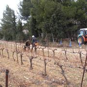 travail de la vigne Accueil vignoble à Ribaute au Domaine des Cascades à Ribaute