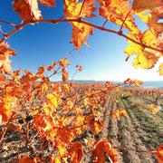 vignes gite Pays Cathare Gites de France dans l'Aude à Ornaison en Corbières