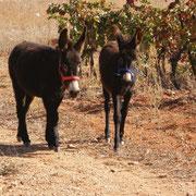 Anes du domaine Accueil vignoble à Ribaute au Domaine des Cascades à Ribaute