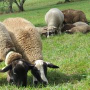 élevage gite Pays Cathare Gites de France dans l'Aude à Castan en Montagne noire