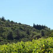 vigne du domaine du gite pays cathare dans l'Aude à Pouzols minervois avec piscine
