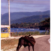 Cow Biting his Butt,  Jamaica, W.I. 2003