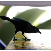 Bajan Bird, Barbados, W.I. 2004