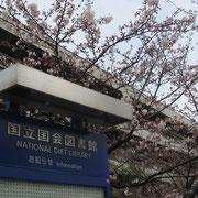 国会図書館の桜 綺麗です