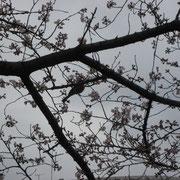 桜の枝にとまっている鳥