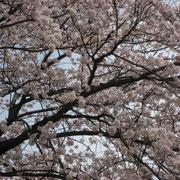 赤坂御所の桜