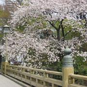 紀尾井橋の桜