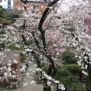 スタート!乃木公園の桜は五分咲きを越え、結構見ごろ
