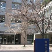 麹町学園前 移植したばかりの若い桜のよう