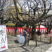 靖国神社 野点 一分咲きくらいで、ほとんど蕾