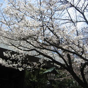 靖国神社の中では比較的咲いていた木