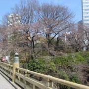 紀尾井町 弁慶橋 ほとんど蕾