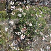 弁慶橋横の桜 一分咲きくらい