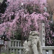 乃木神社の狛犬と枝垂桜
