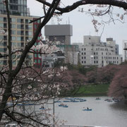 千鳥が淵全景ですが桜はまだまだ
