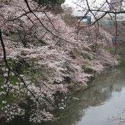 北の丸公園側の桜は五分咲き程度
