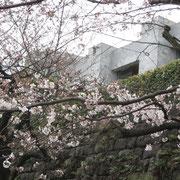 最高裁判所の塀の周りも桜が囲んでいます
