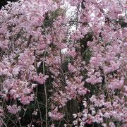 乃木神社の枝垂桜