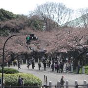 武道館前 一分咲き程度だが蕾が桜色に変化
