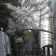 カナダ大使館横の桜