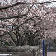 国会図書館の桜並木 五分咲きを超えていました