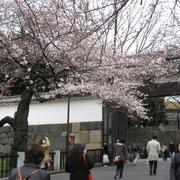 北の丸公園、門の前の桜は見ごろ