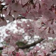 国立劇場、神代曙桜
