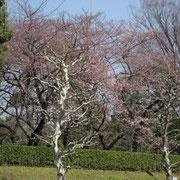 青山一丁目スタート 赤坂御所 一分咲き程度