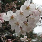 千鳥が淵の公園の桜