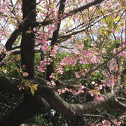 豊川稲荷の江戸彼岸桜 彼岸の頃に満開ですね