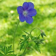 Geranium x 'Brookside'