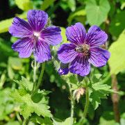 Geranium ibericum 'Vital'