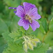 Geranium eventl. 'Rosemoor'