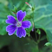 Geranium nodosum 'Pascal'