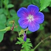 Geranium himalayensis 'Gravetye'