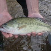 Black-bass du barrage de Peyrissac