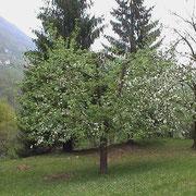 Cura alberi da frutta