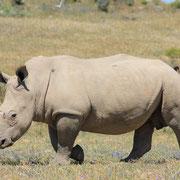 (7092) Le rhinocéros sans sa corne