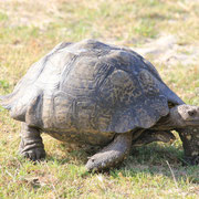(7292) La tortue