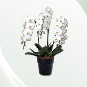 胡蝶蘭鉢植え 1鉢¥15,000〜(税別)