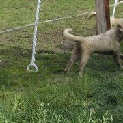 1 Rinderhautknochen u. 4 Hunde