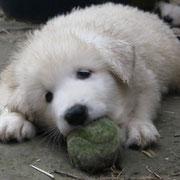 Die Schnauze ist schon so groß, dass er den Tennisball apportieren kann.