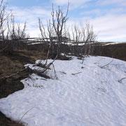 Bouleau à l'aspect brûlé par la neige