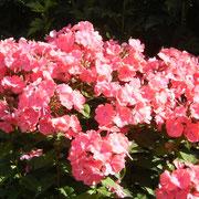 ganz kräftig rosa gefärbter Phlox.