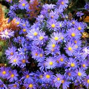 Astern lila-gelb