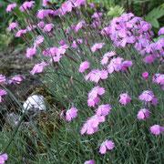 Der Duft der Nelken (Dianthus) ist atemberaubend!!