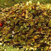Alles Laub sammelt sich am Boden.