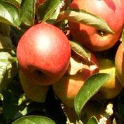 Bald können die Äpfel geerntet werden!